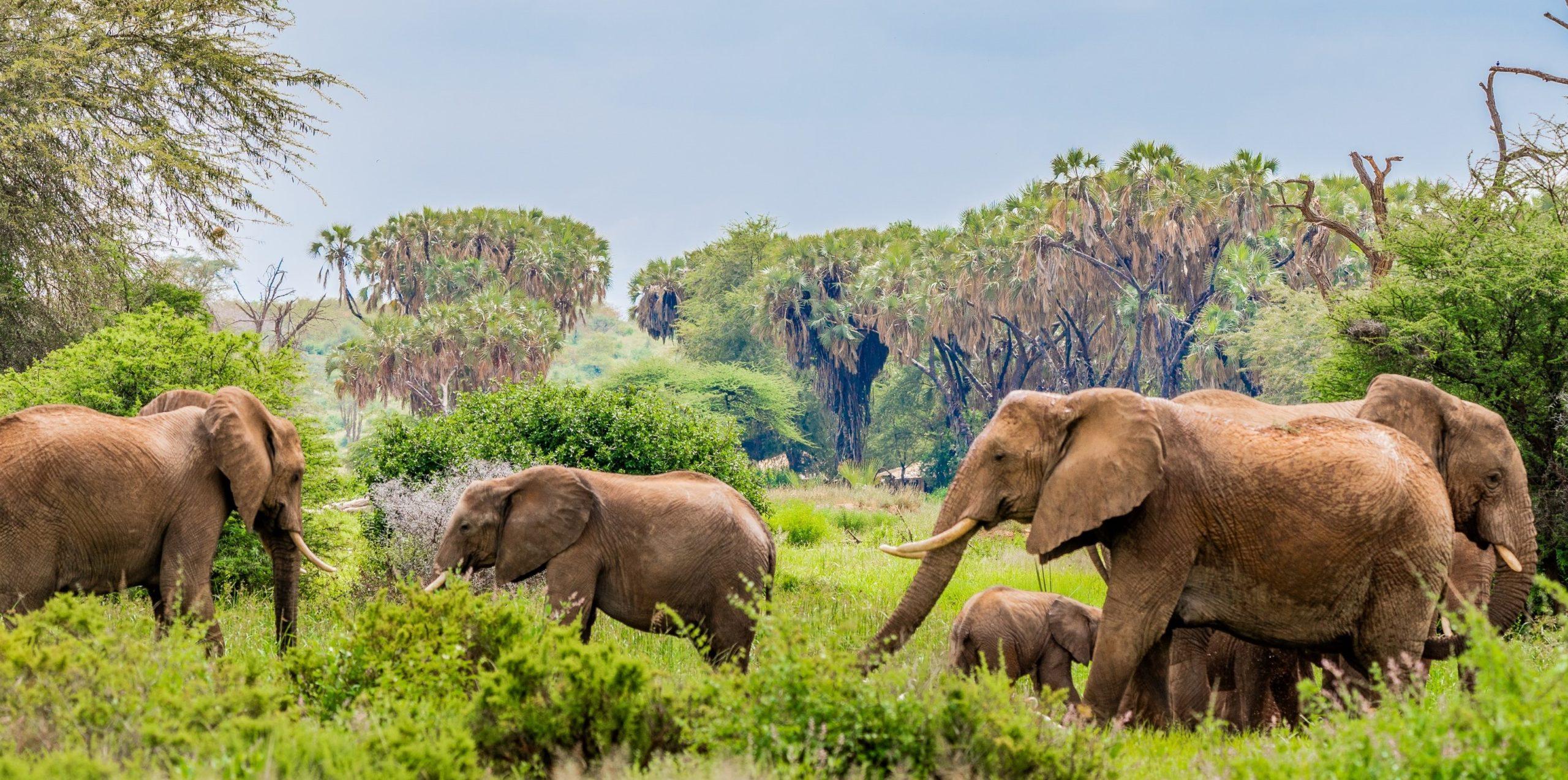 Troupeau d'éléphants dans un parc naturel au Kenya